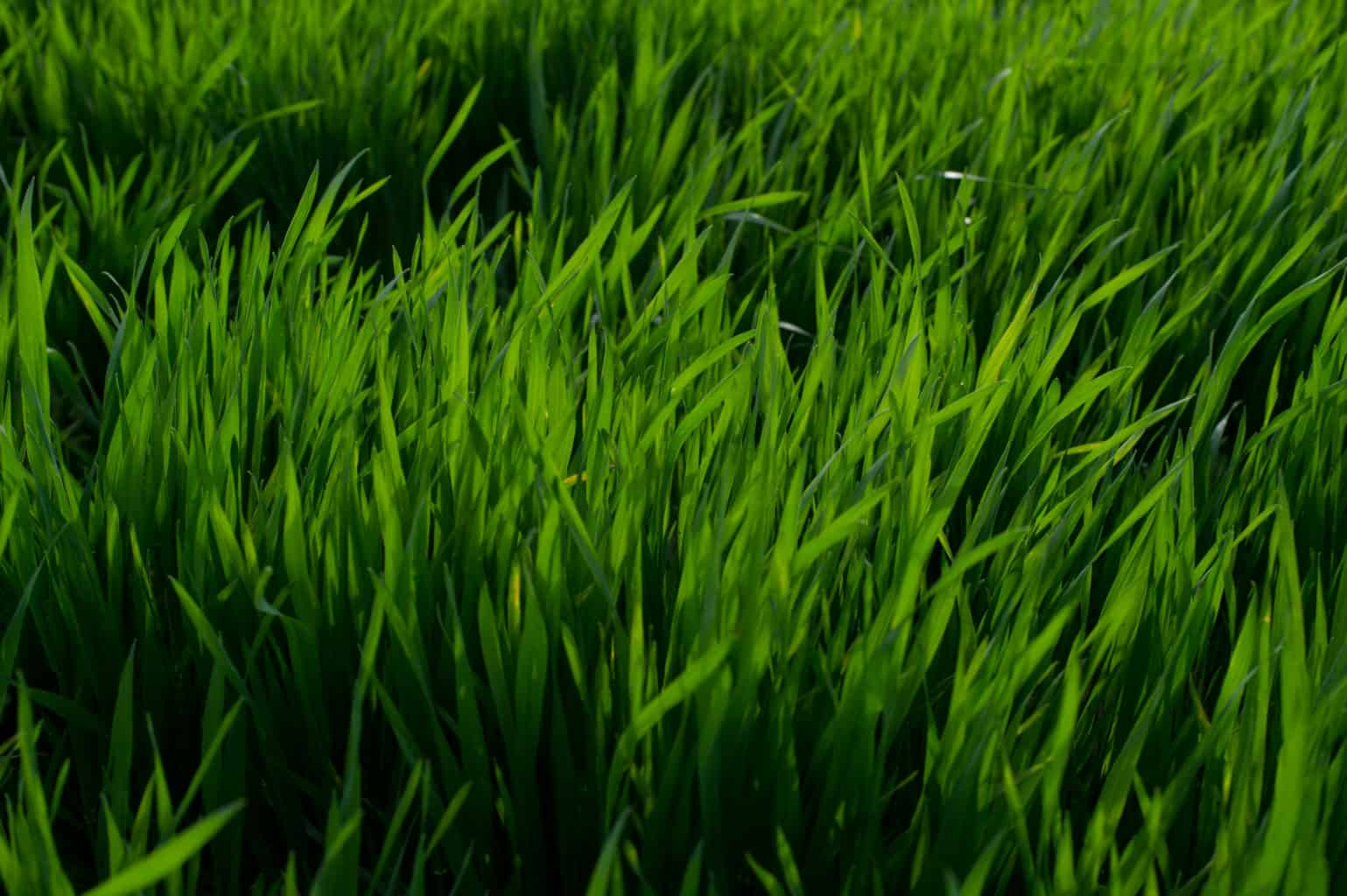 closeup of grass