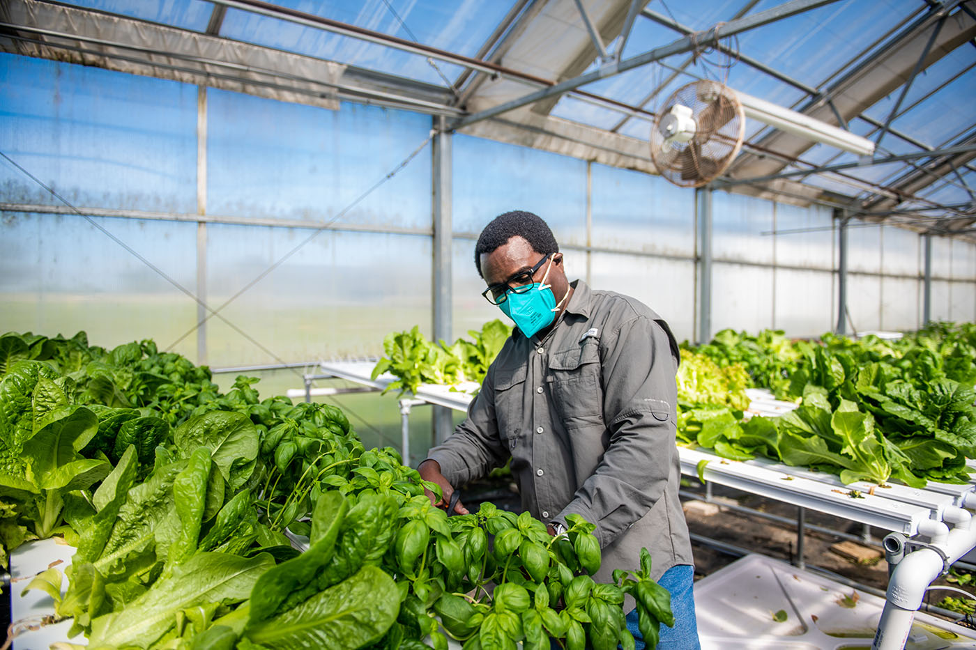 M21063-Greenhouse-Lettuce-Harvesting-6937